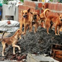 Are You Vexed by Stray Dog Menace in Noida